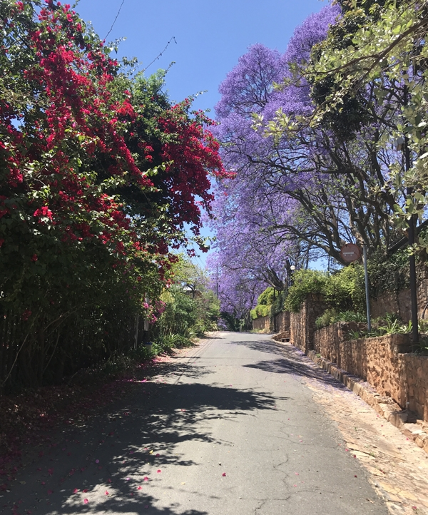 Jacarandas and Bougainvilleas in bloom